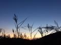 Reeds sunset